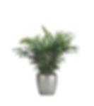 Neanthebella Palm