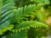 indoor trees norfolk island pine