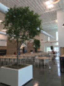 Ficus Trees 14 feet easy indoor plants