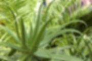 indoor plants aloe vera
