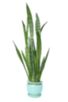uncommon plants we love baseball bat sansevieria