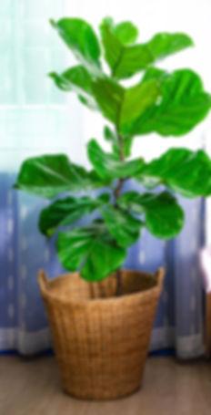 indoor-trees-fiddle-leaf-fig-jpg.jpg