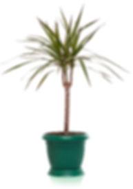 indoor plants dracaena