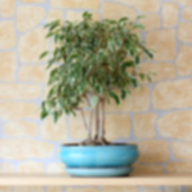 indoor-trees-weeping-fig-jpg.jpg