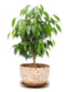 Indoor plants Weeping Fig Ficus Benjamina