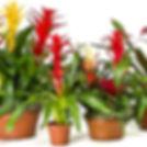 plant care quetions keep bromeliad alive