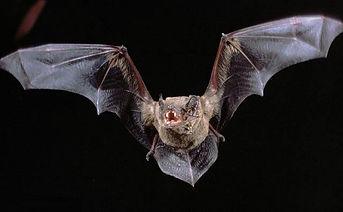 Bat Removal Columbia SC, Bat Removal Lexington SC, Bats in Attic Space, Bats in my house, Bat Removal in Charleston SC, Bat Removal Aiken SC