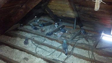 pigeon removal services, bird control, bird removal, bird droppings, pigeon problems, birds be gone