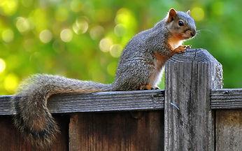 Squirrel Removal Columbia SC, Squirrel Removal Lexington SC, Squirrels in Attic Space, Squirrels in my house, Squirrel Removal in Charleston SC, Squirrel Removal Aiken SC