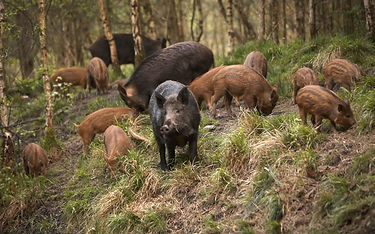 Hog trapping, wild boar removal, pig trapping, hog control, wild pig removal