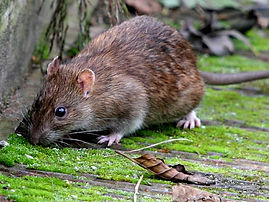 Rodent Control Allstar Wildlife, Pest Control Rats, Rats in attic space, Rodents in my house, Rats in the yard, Rodent Droppings