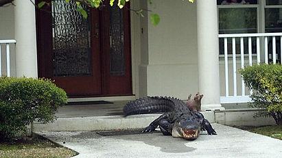 Alligator removal, gator removal, alligator in my yard, how to remove alligator, alligators bites