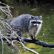Raccoon Removal in Richland County, Raccoon Removal in Lexington County, Raccoon Control in Columbia SC
