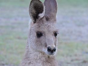 Best hope for Kangaroos in 200 years