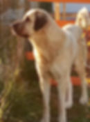 кангал, турецкий кангал, Звезда Кангала, купить щенка кангала
