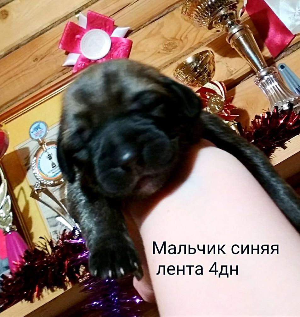 САЛИМХАН  Мальчик синий ошейник 4 дн