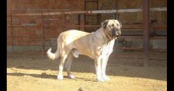 Malaklı Çoban Köpeği