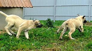 кангал, купить кангала, турецкий кангал, звезда кангала, кангалы в Москве, kangal, кангальская овчарка, кангал РКФ, кангал фото, щенок кангала, питомник кангалов, купить щенка кангала, кангалы в России