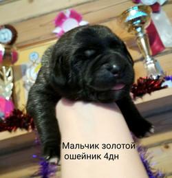 """С""""КАРАКУРТ  Мальчик золотой ош. 4дн"""