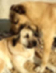 кангал, турецкий кангал, щенки кангала, питомник кангалов