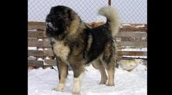 Kars Çoban Köpeği