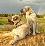 щенки кангала, кангалы в России, питомник кангалов