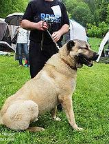 щенки кангала, кангалы в России
