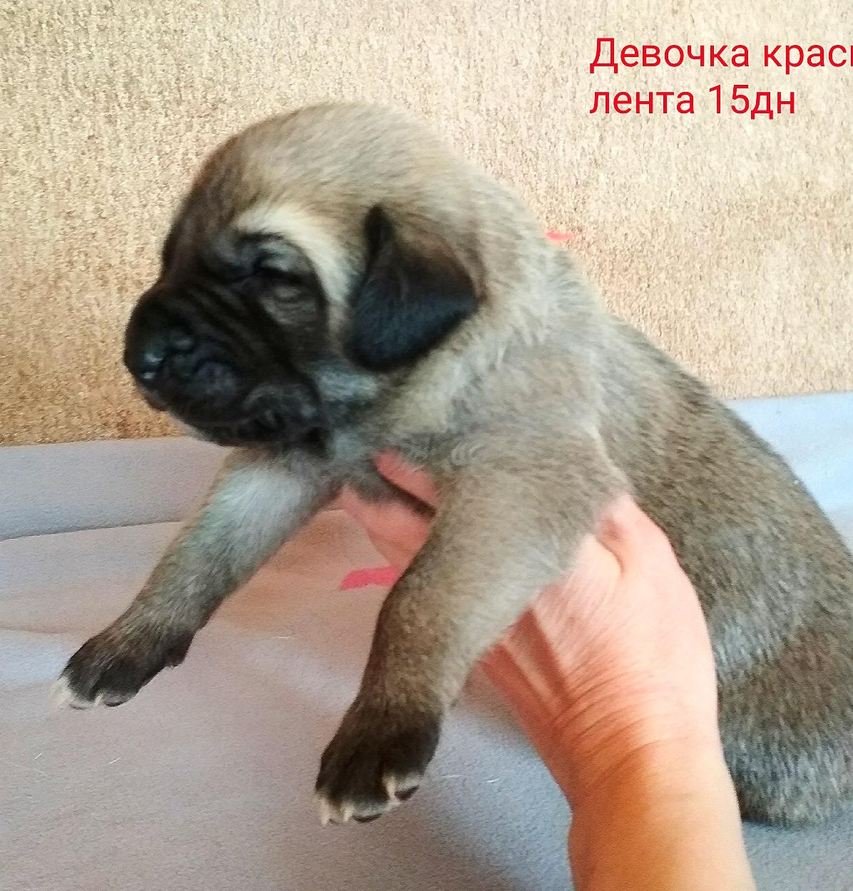 РЕЗЕРВ Сапфира Юлдуз красная лент