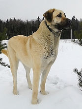 Кангал, щенки кангала, Анатолийская овчарка (кангал). Щенки кангала