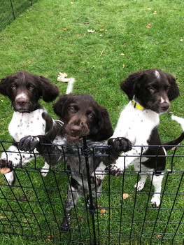 Roan with two brown and white pups