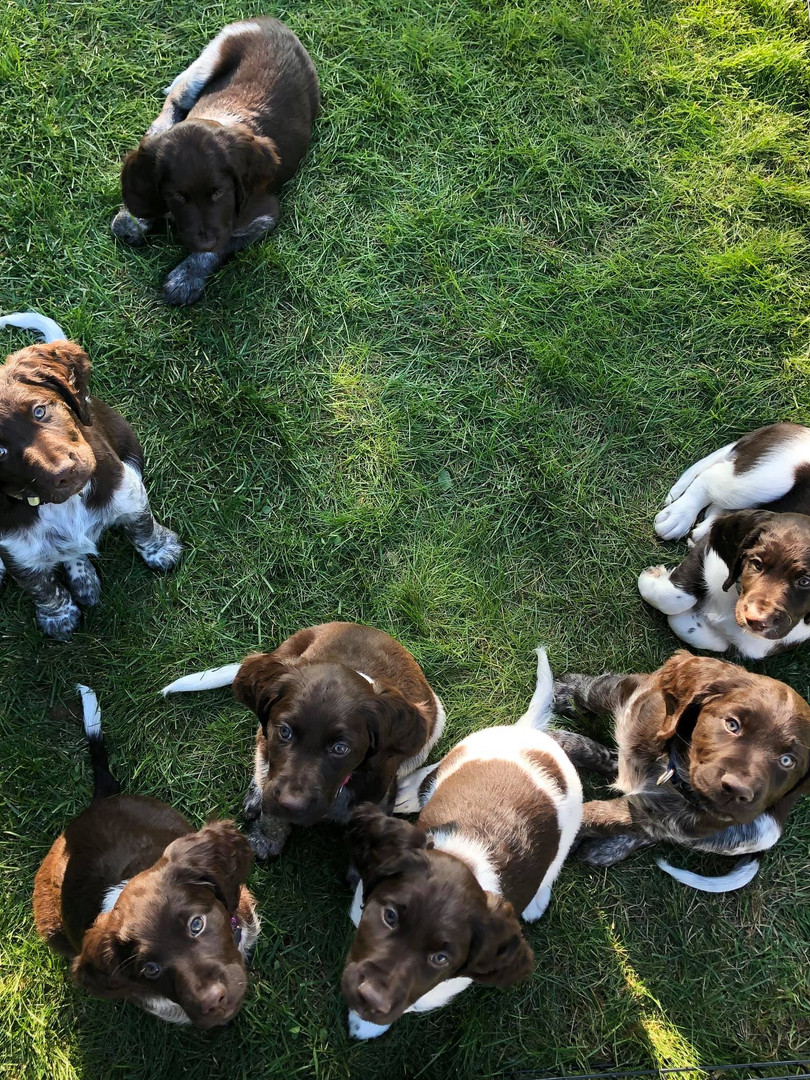 All of C litter puppies