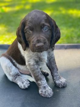 C Litter Puppy- Roan