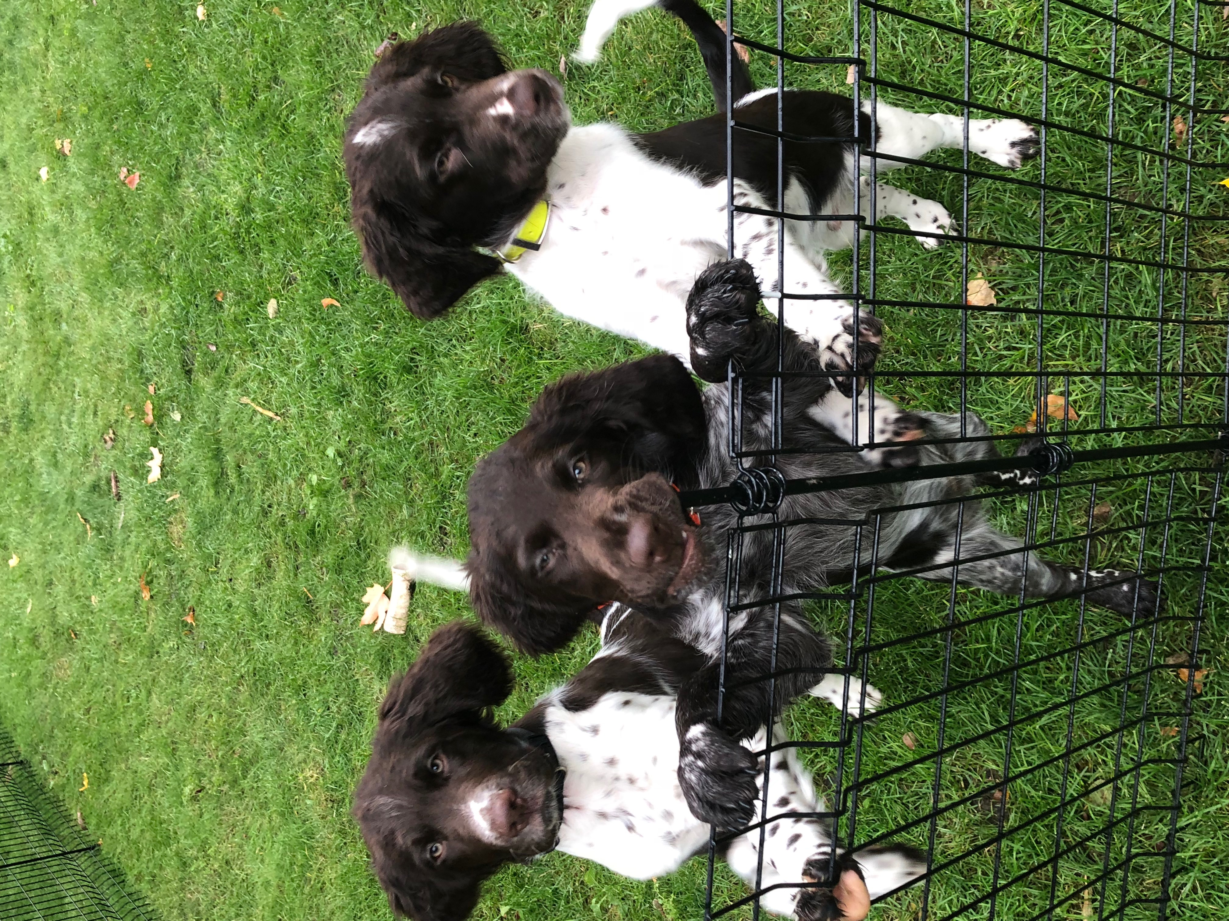 Brown and White with Dark Roan Pups