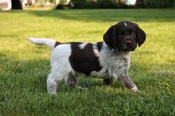 Roan Pup