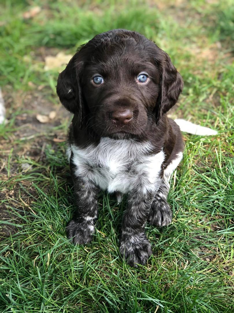 C Litter Puppy - Roan