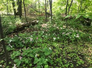 trillium, ontario, flowers, picking