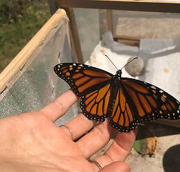 TRUU raising monarchs