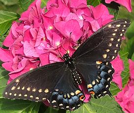 TRUU raising swallowtails