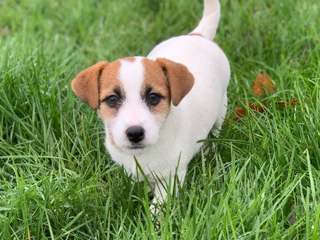 Puppy Buying Guide - Jack Russell Terrier