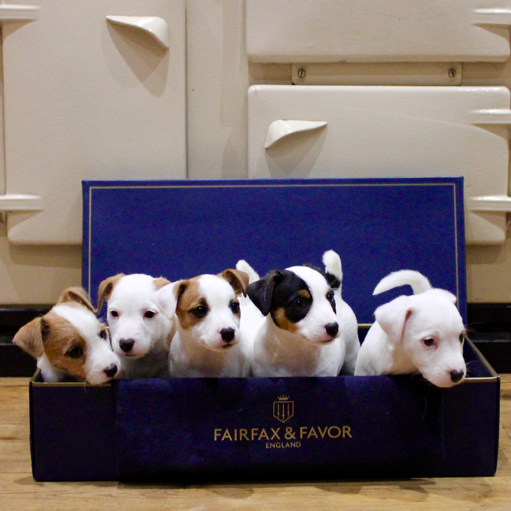 Jack Russell Terrier puppies in a box