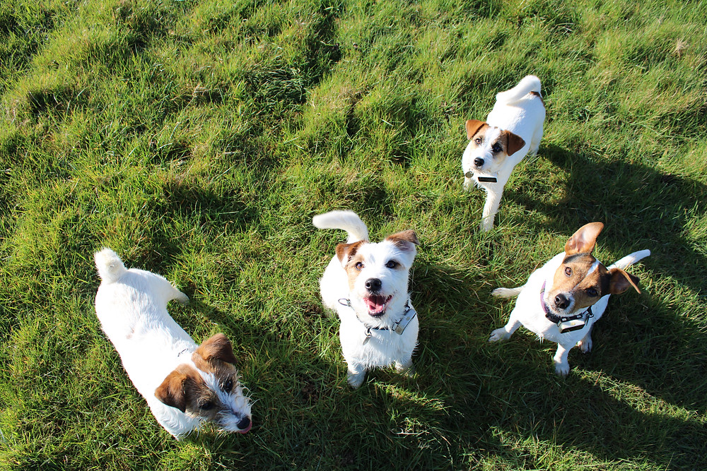 Four Jack Russell Terrier dogs