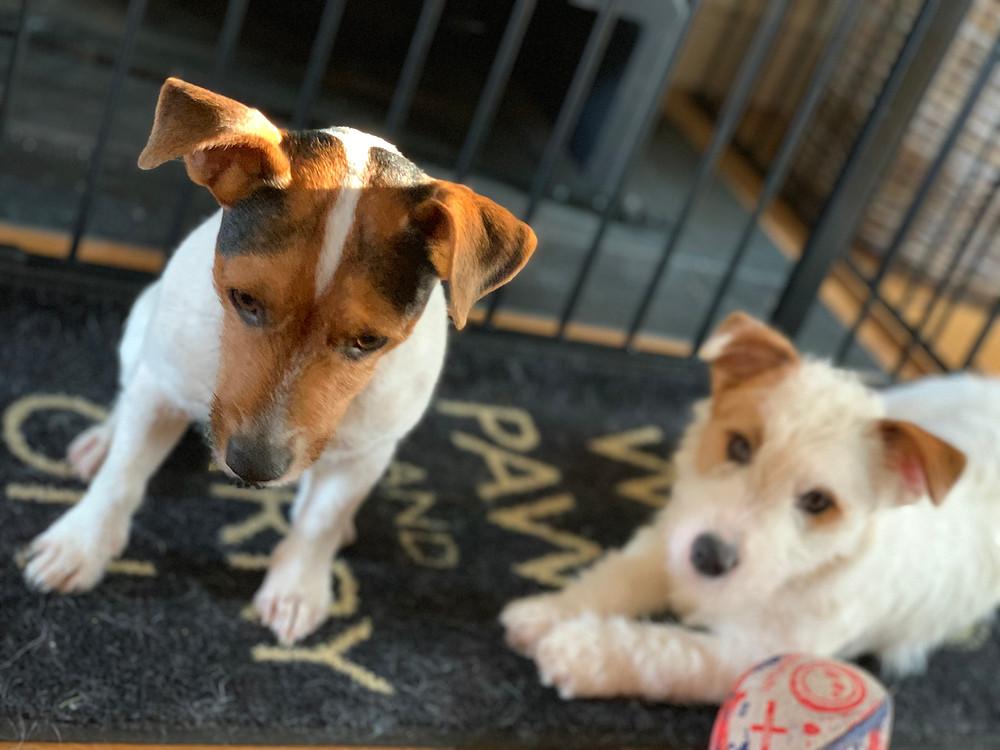 Carrot and Spud, Jack Russell Terriers, looking cute.