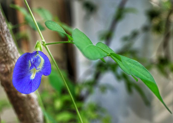 clitoria-ternatea-3316703_1280.jpg