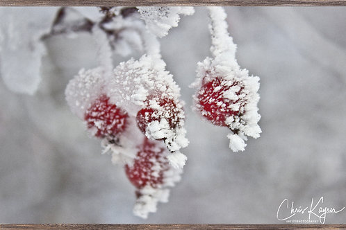 Winter Berries  24x16