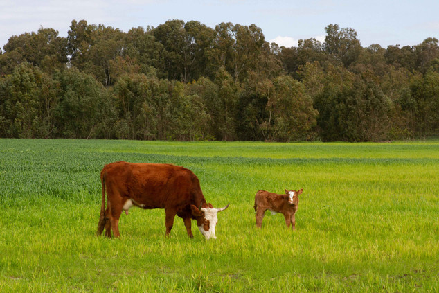 פרות בניווט בפארק השרון