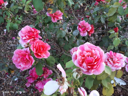 ורדים בגן הורדים