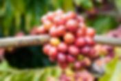 Little Green Cycle Beans.jpg