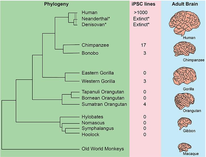 Ape_phylogeny