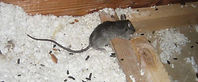RAT4.JPG