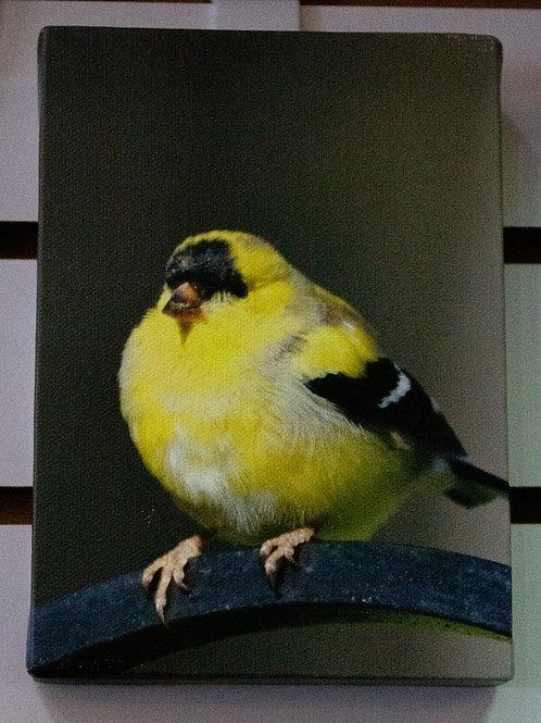 American Goldfinch Canvas